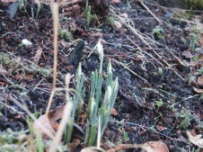January means snowdrops