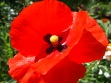 Field Poppy